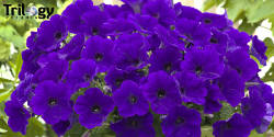 Trilogy Blue Petunia