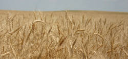 Pure, tested wheat
