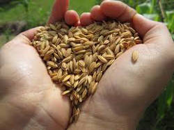 BU Growers Seed Rice
