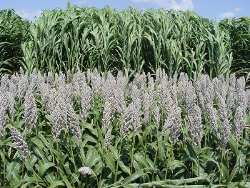 Richardson Seeds Hybrid Grain Sorghum