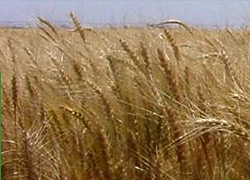 Scott Seed Company wheat seeds and Trials information