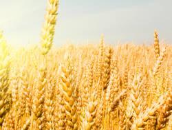 INTX Wheat Inoculants