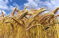 Seed, Inc. provides varieties of Triticale for grazing, foraging and green chop